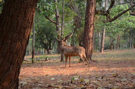 Deer, Animal, Pet, Forest, Tree, Nature