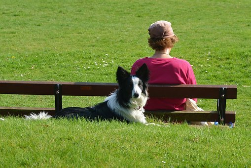 Border Collie, Dog, Canine, Laying Down